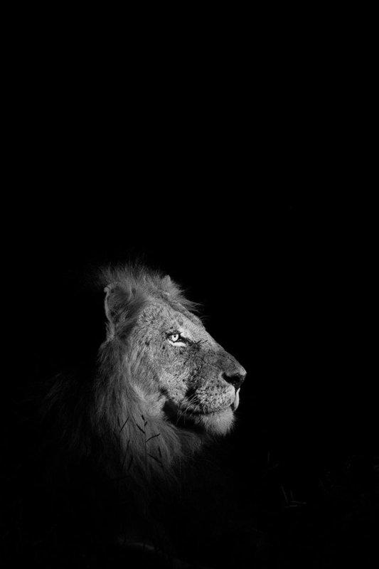 Male lion - Maseke-Cutline - Dan Odendaal - B33