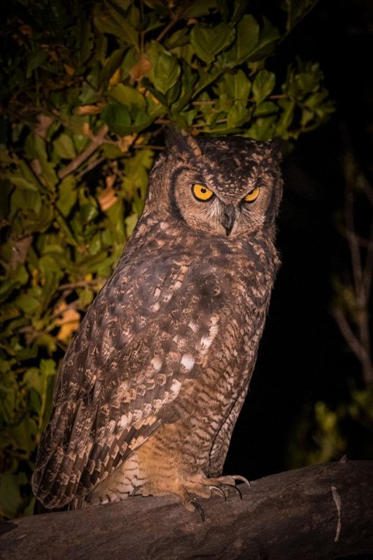 Spotted eagle owl - Dan Odendaal - B33