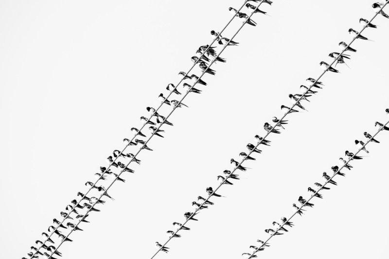 Swallows - Dan Odendaal - B33