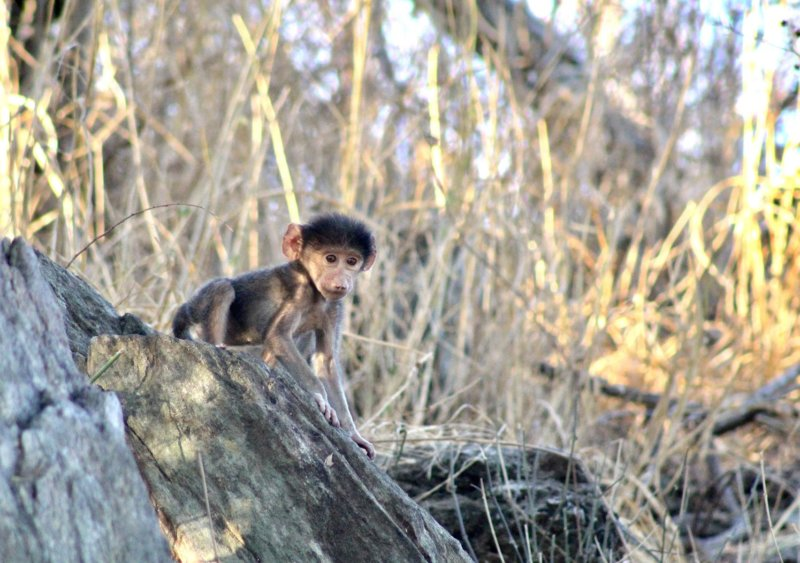 Baby baboon - Douglas Button - B30