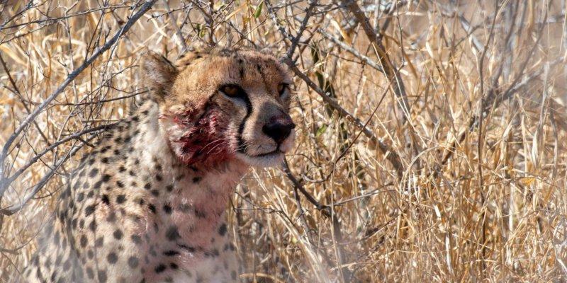 Cheetah on a kill - ORGR - Lars Cox - B19