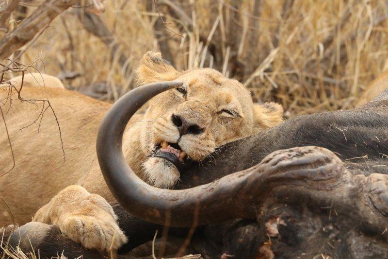 Lions on a buffalo kill - Members Way - Graham Benfield B2