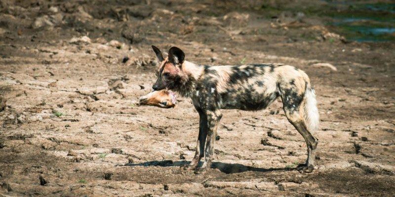Wild dog kill - Big Dam - Lars Cox - B19