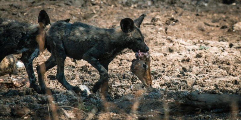 Wild dog puppies - Big-Dam - Lars Cox - B19