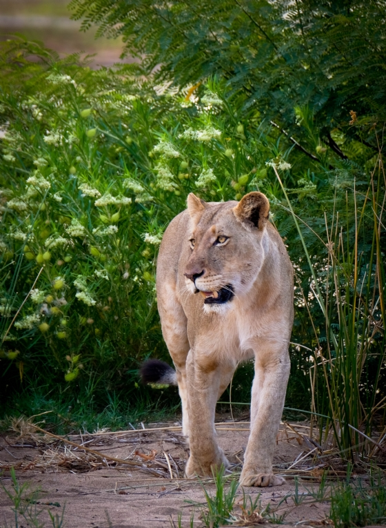 1 of 3 lionesses by Dan B33