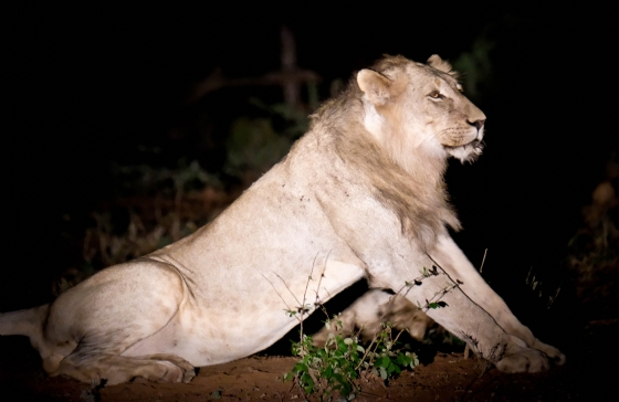 1 of 5 young lions by Dan B33