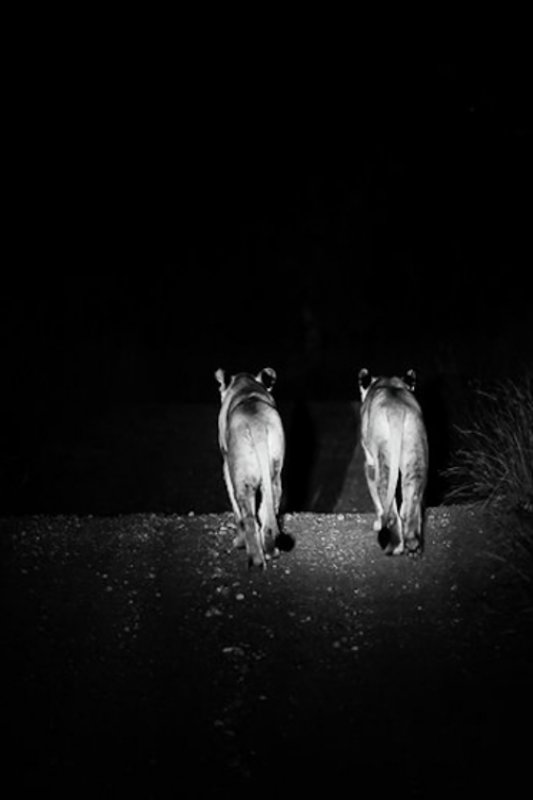 2 Lionesses on Camp Road by Dan B33