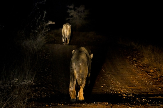 3 Lion towards Mopane Corner by Dan B33
