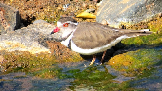 3Banded plover by Jock B32