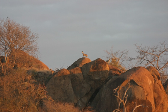 4 Klipspringer at top of old airstrip by Rene A4