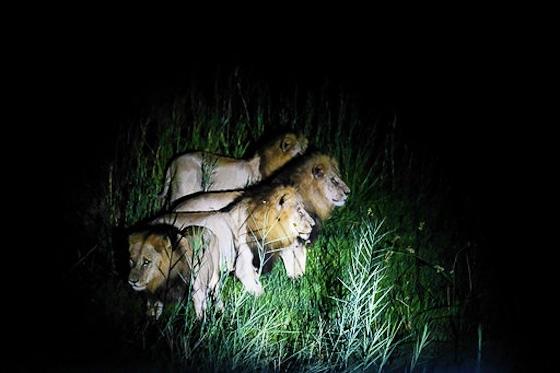 4 Lion on Pels Loop by Dan B33