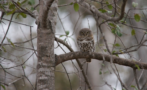 African Barred Owlet by James B21