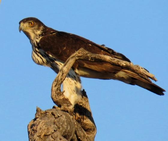 African Hawk Eagle by Jock B32