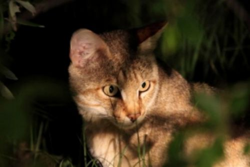 African Wildcat by Alec Ryall