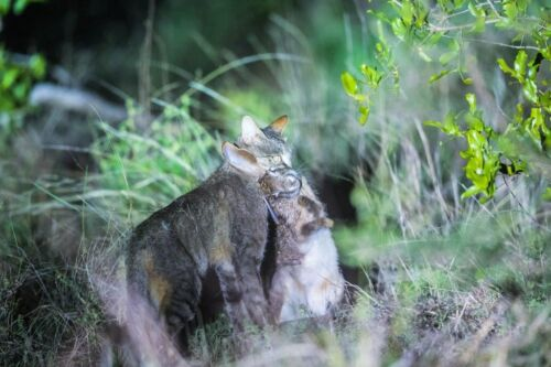 African Wildcat rabbit kill at Mica Hill by Uli A9