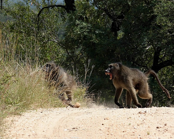 Angry baboon by Teich Teichman