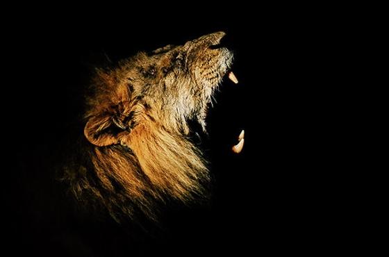 As night falls a lion wakes by Dan B33