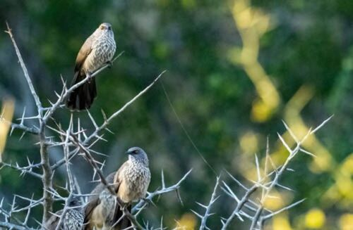 Babbler Family by John B35