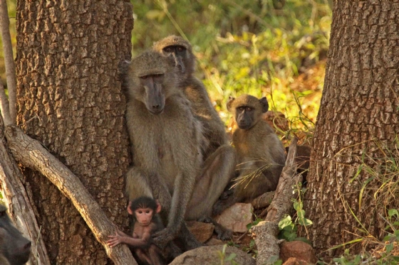 Baboon Family by Nic Holzer