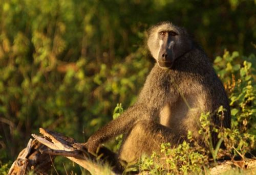 Baboon by Nic Holzer