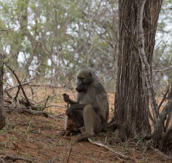 Baboon eating baby monkey by John F B35