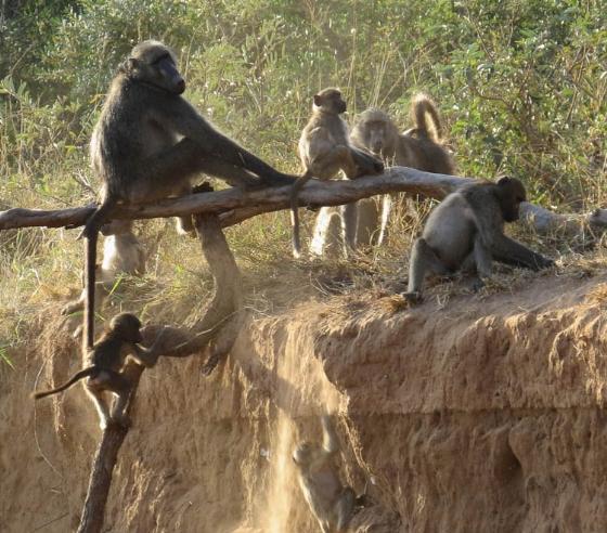 Baboons at play by Jock B32