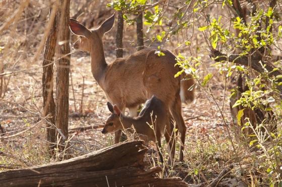 Baby Bushbuck at B2 by Graham