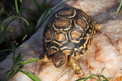 Baby Leopard tortoise by Nic Holzer
