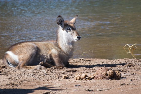 Baby Waterbuck by Anthony B27-2