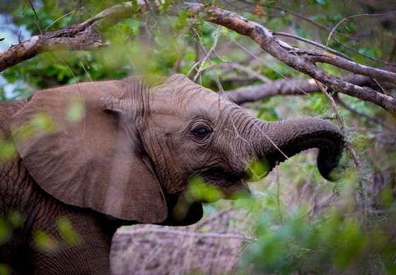 Baby elephant by Dan B33