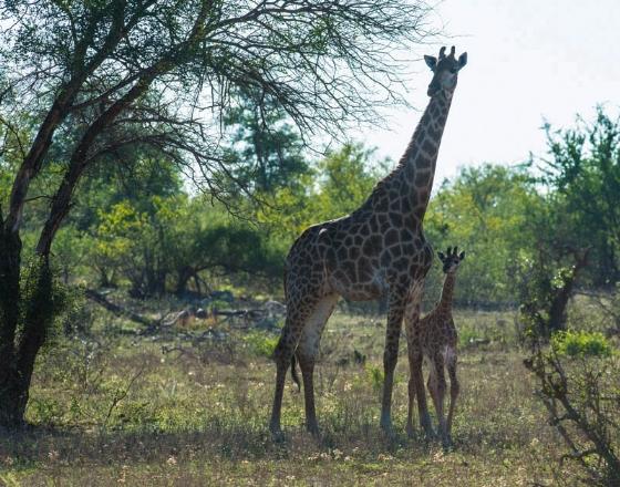 Baby giraffe and mother by Eileen Fletcher