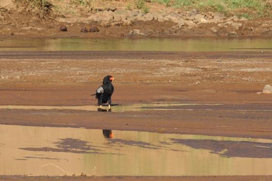 Bateleur at river -Simon B19