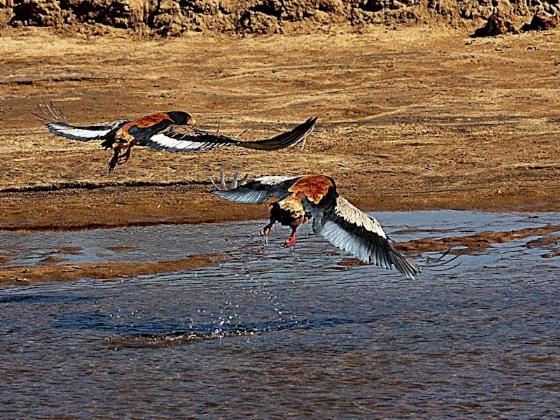 Bateleur pair taking off by Teich Teichman