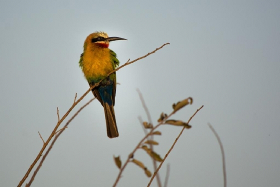 Bee Eater by B36