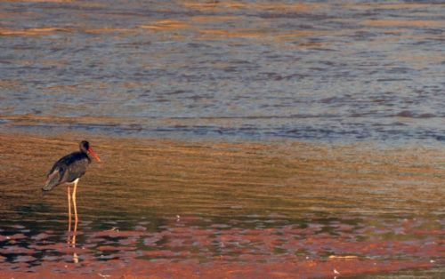 Black Stork at sunset in the Olifants by Nic Holzer