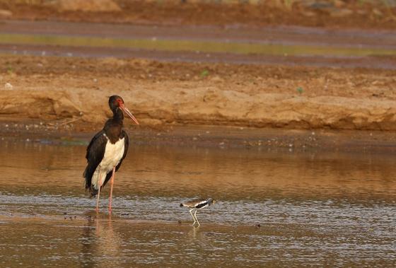 Black stork 2 by Simon B19