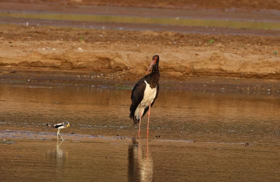 Black stork by Simon B19