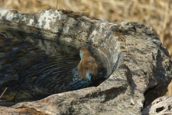 Blue waxbill by Mally Cox