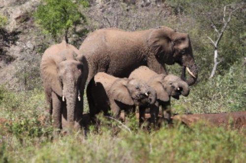 Breeding herd of ele by Graham Benfield