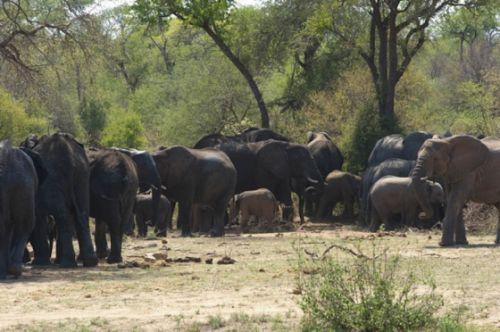 Breeding herd of elephant by Eileen Fletcher