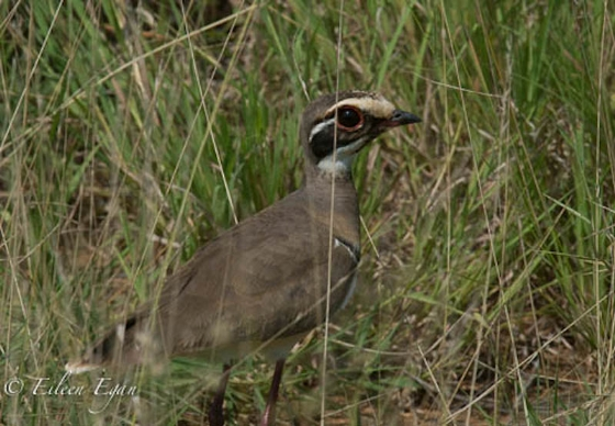 Bronzewinged courser by Eileen Egan