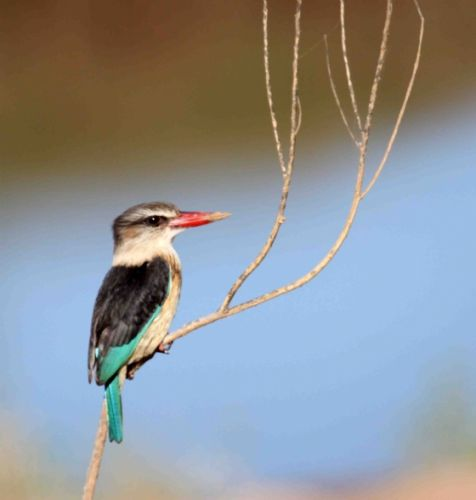 Brown Hooded Kingfisher by Nic Holzer