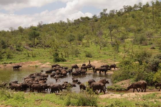 Buff at Wildebeest by Graham B2