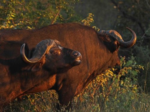 Buff on Rhino plains by Nic Holzer