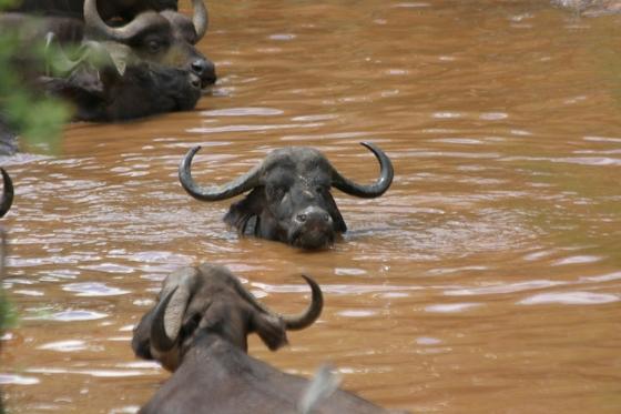 Buffalo Herd in Ndlovu Dam by Rene A4