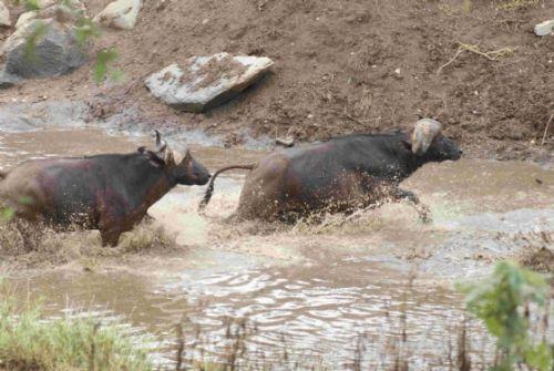 Buffalo Ndlovu dam by Roy Markham
