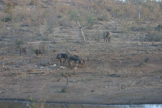 Buffalo and Elephant at Wildebeest Dam by Rene A4