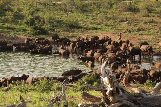 Buffalo at Wildebeest Dam 2 by Graham B2