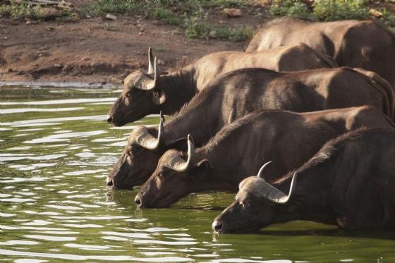 Buffalo at Wildebeest dam 1 by Graham B2