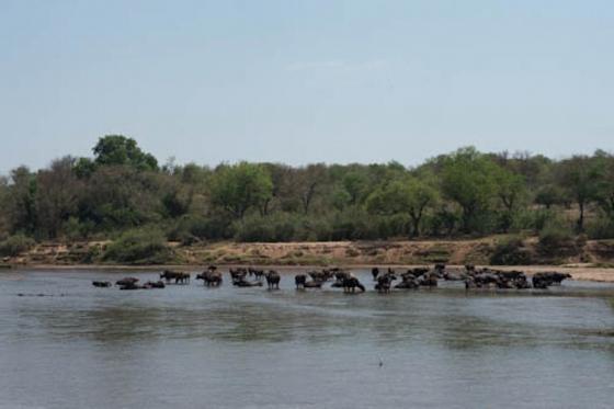 Buffalo herd in river by Eileen Fletcher